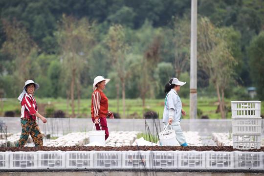 6月24日,工人们在贵州省沿河自治县官舟镇黑木耳示范基地搬运采收的黑木耳。(图片来源:中新社)