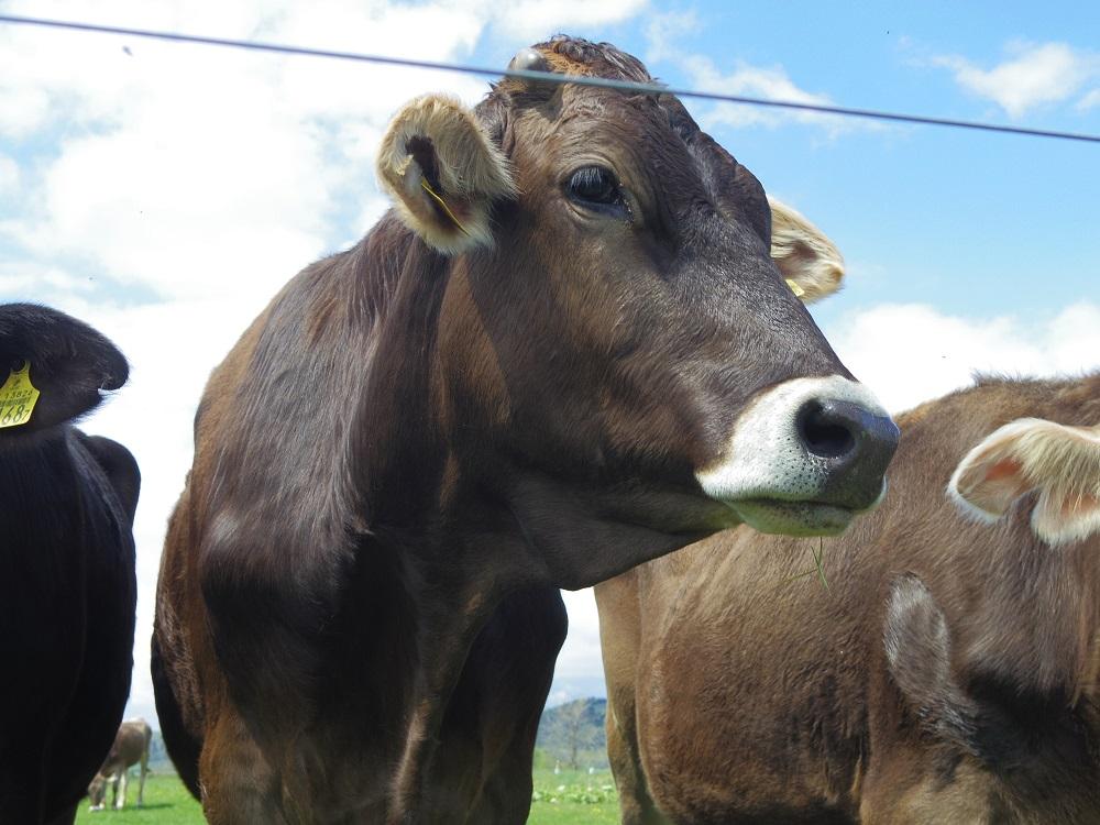 放牧中の牛たちにも会えますよ~