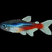 kisspng-fish-neon-tetra-mondo-cucciolo-d