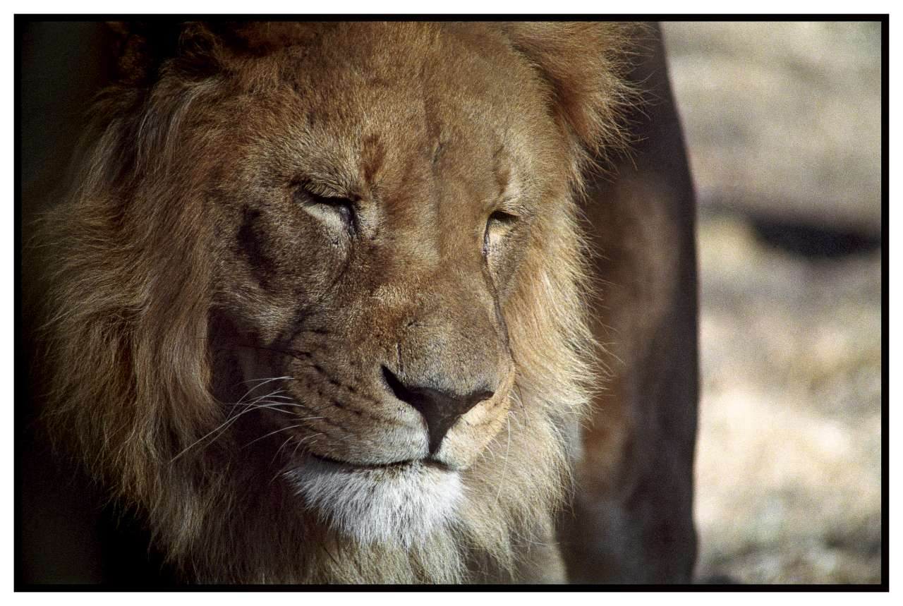 lion-1280.jpg