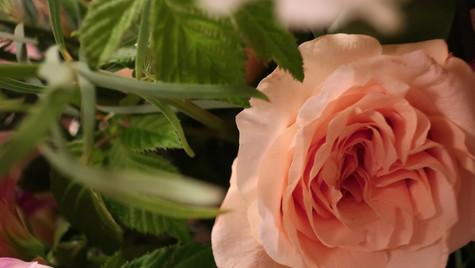 Peach Rose Bloom