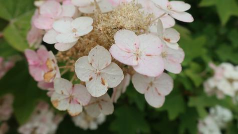 Delicate Hydrangea of Summer