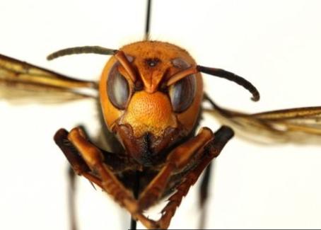 'Se encontrá-las, corra e nos chame!': cientistas nos EUA alertam para chegada de 'vespas assassinas