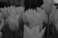 Lauren Goodyear -FINALIST-UK Young Photographer - Flowers-