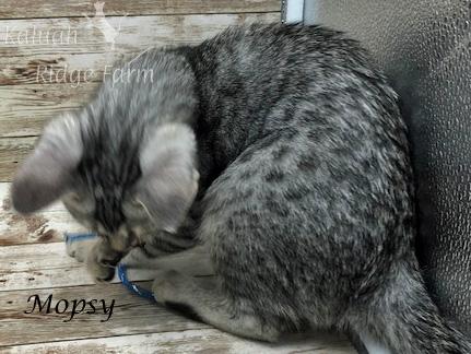 Mopsy - Female Silver 7.16.20c