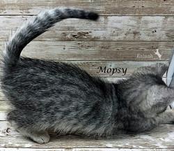 Mopsy - Female Silver 6.20.20d