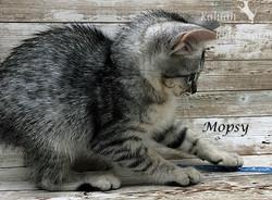 Mopsy - Female Silver 7.2.2020c