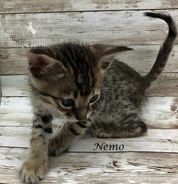 Nemo - Male BST 7.16.20a