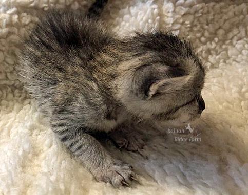 Mopsy - Female Silver 5.6.20d