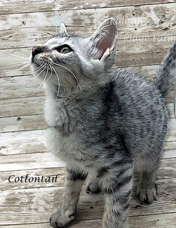 Cottontail - Female Silver 7.2.2020a