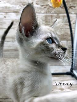 Dewey - Male Snow 8.2.2020a
