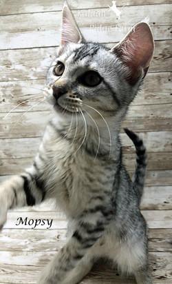 Mopsy - Female Silver 7.16.20a