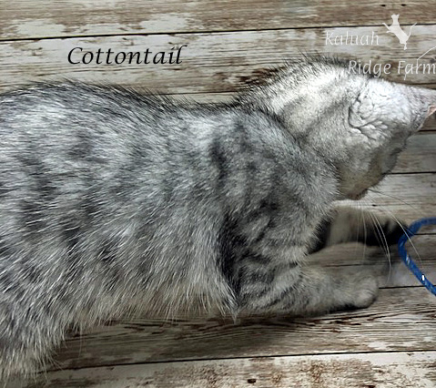 Cottontail - Female Silver 7.16.20b
