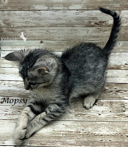 Mopsy - Female Silver 6.20.20c