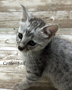 Cottontail - Female Silver 6.20.20b.jpg.