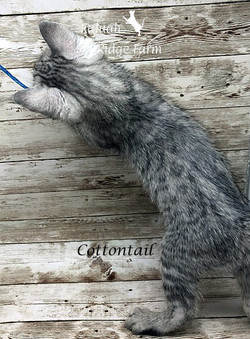 Cottontail - Female Silver 6.20.20c