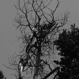 sandia tree 1