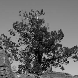 nambe tree 2