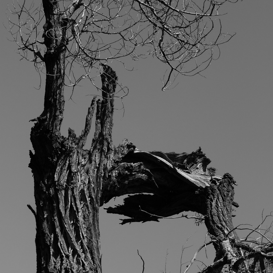 nambe tree I