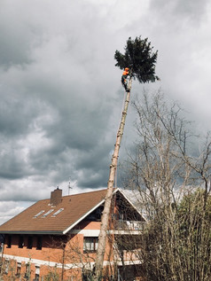 Abtragung einer schräg gestellten Fichte nach dem Sturm Sabine