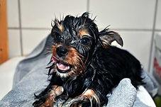 nasser-yorkshire-terrier-welpe.jpg