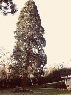 Totholzpflege eines Mammutbaumes für eine Hausverwaltung