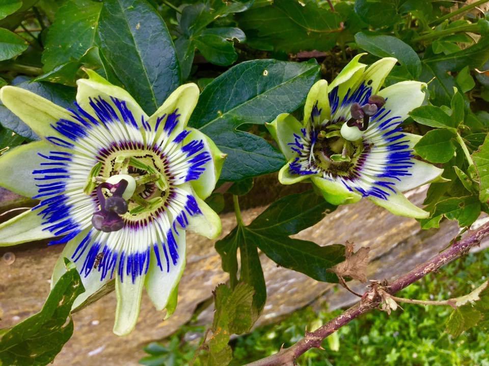 fleurs de la passiflore...