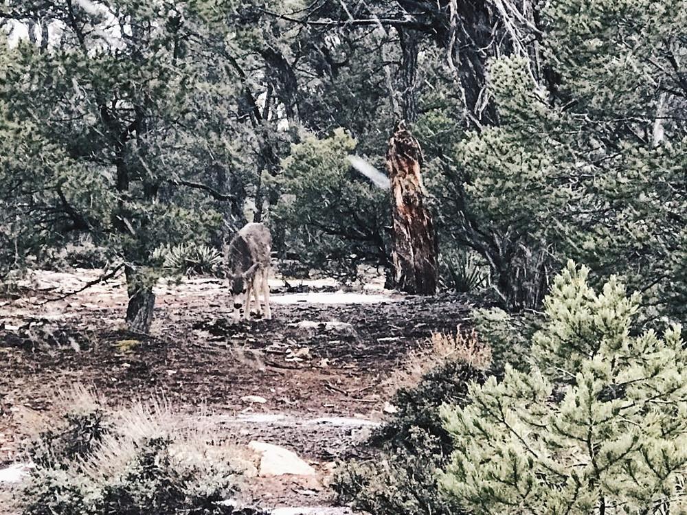 Wildlife at the Grand Canyon