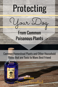Common Homestead Plants and Household Items That can be Toxic to Your Pets