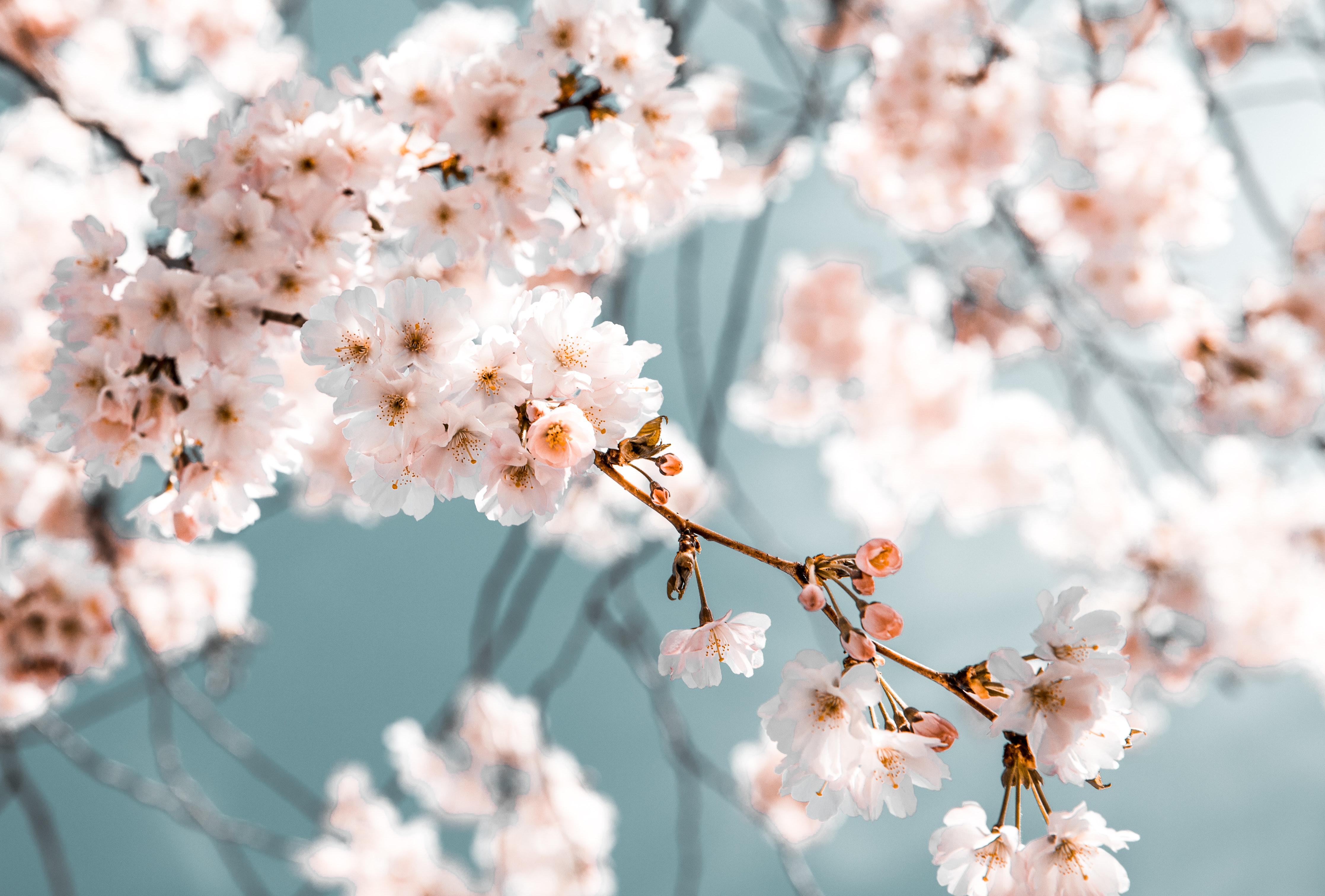 blossom-branch-desktop-backgrounds-21011