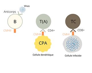 Apresj20_-_Réponses_immunitaires_(1).pn