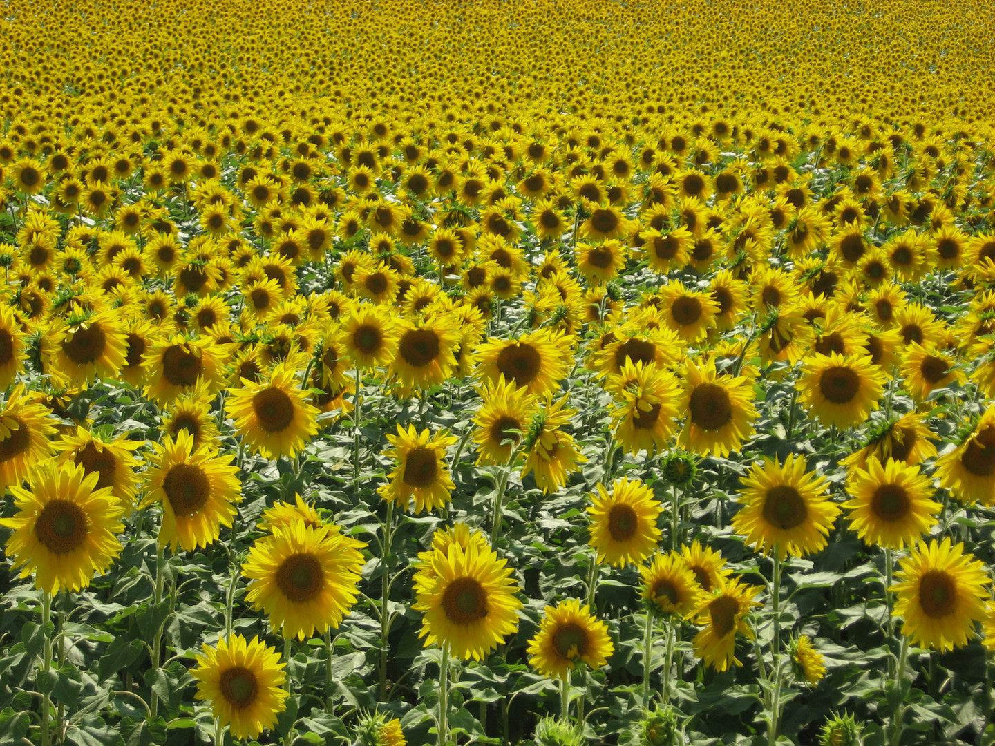 Sunflowers all over