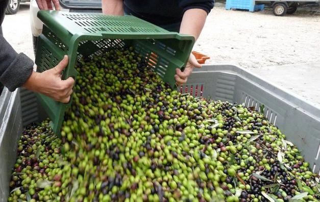 La materia prima per uno squisito olio extra vergine di oliva