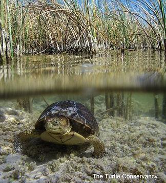 Coahuilan Box Turtle underwater_The Turt