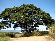 Jatobá do Cerrado.jpg