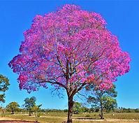 Ipê roxo sete folhas.jpg