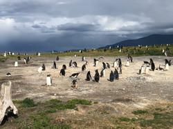 042 IMG_9535 Isla Martillo Penguin Colo