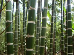 Guadua-angustifolia-produced-in-costa-ri