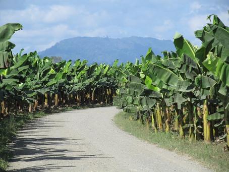 Bananeros del Magdalena y La Guajira en riesgo por acciones del narcotráfico