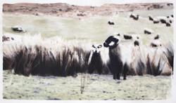 sheepfix01