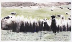 sheepfix02