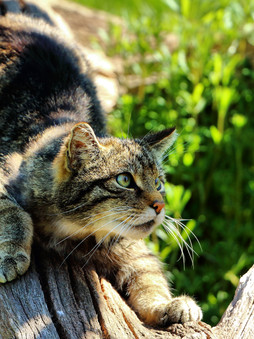 Top 5 Interesting Facts About Scottish Wildcats! 💞