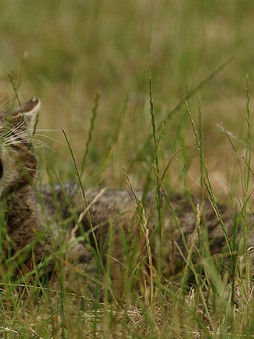 Top 5 Intresting Facts About Scottish Wildcats