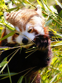 Top 5 Amazing Facts About Red Pandas!