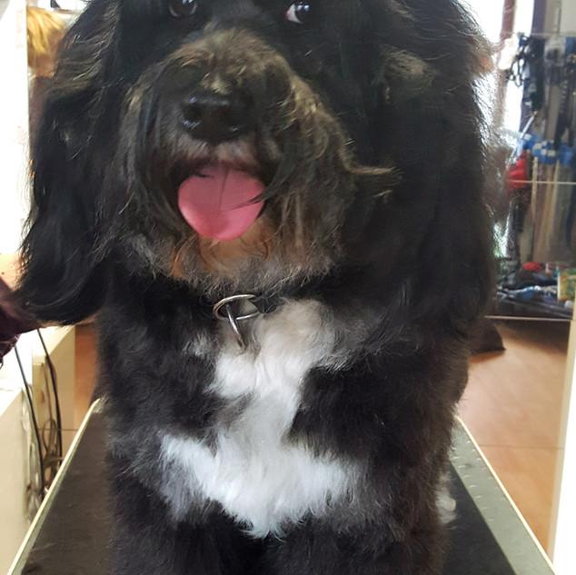 Tibet Terrier nur baden