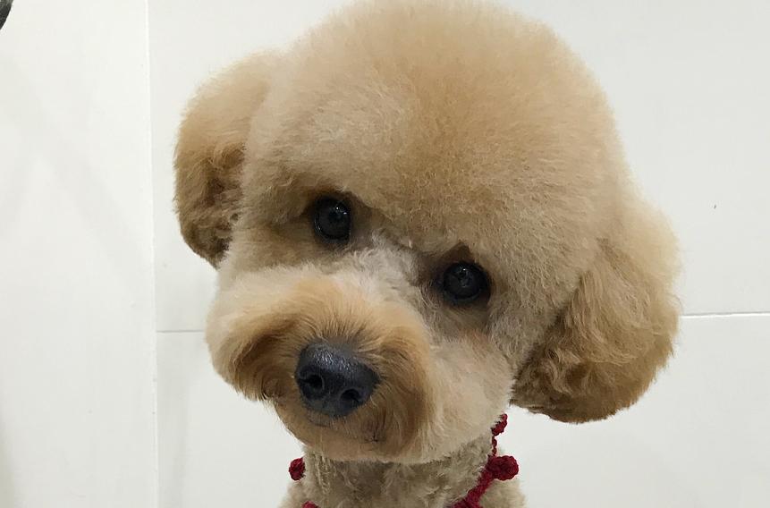 Pudel-Teddy-Kopf
