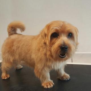 Cairn Terrier getrimmt