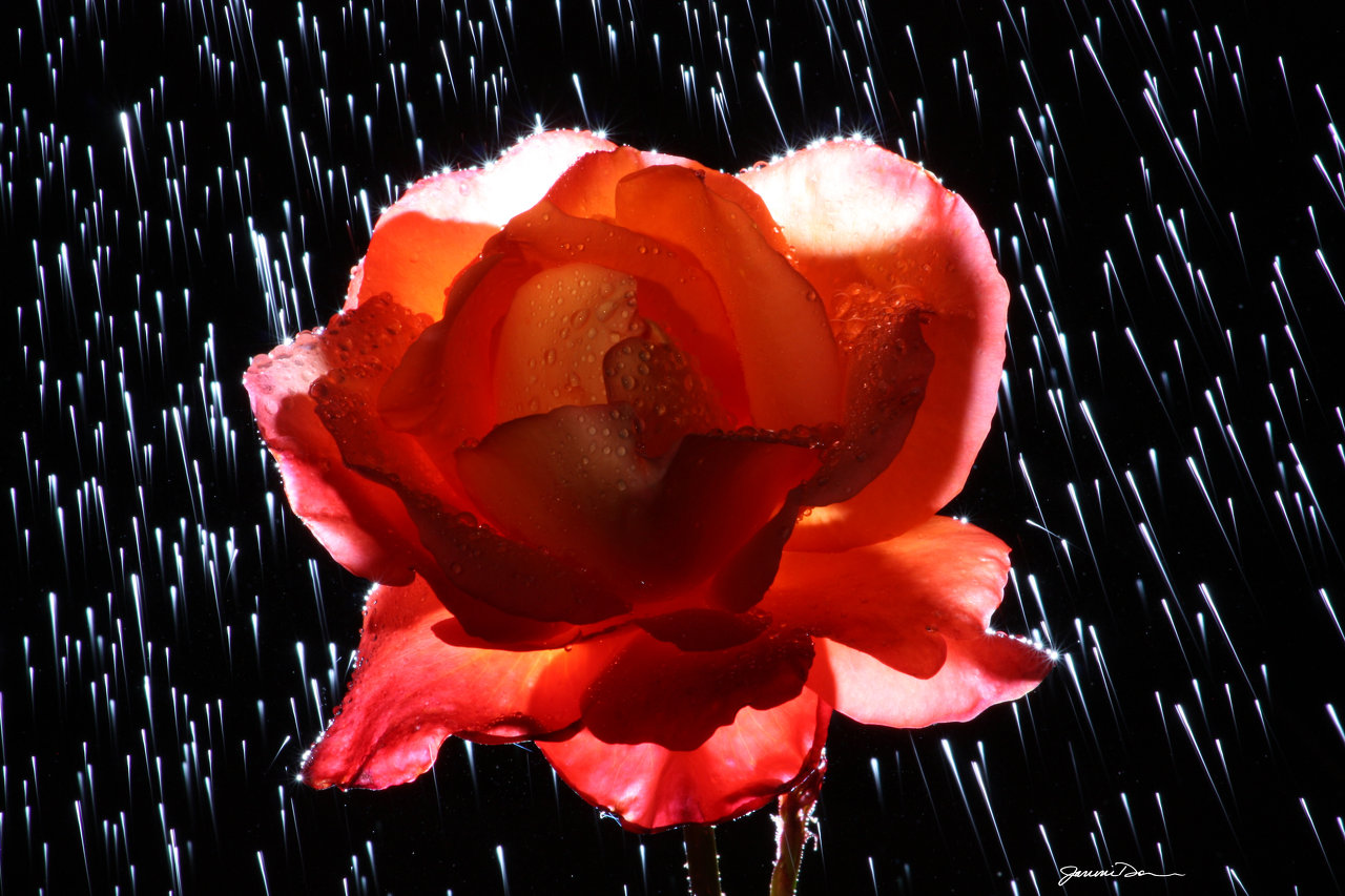Raindrops and Rose