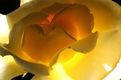 Rose Eclipse