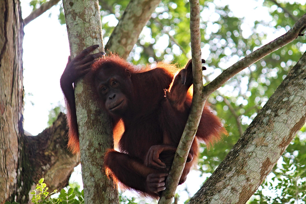 Impacts of the palm oil industry four dirty feet borneo